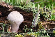 Macro Photo Of A Common Puffball Fungus (Lycoperdon Perlatum) Mushroom On A Mossy Stump