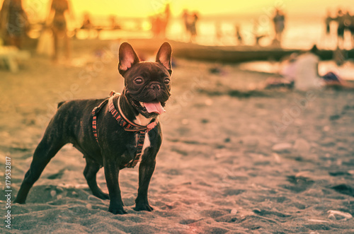 Poster Franse bulldog French bulldog on the beach