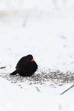 Winter With A Blackbird Who Si...