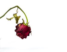 Withering Red Roses Isolated O...