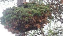 Pathobiology, Dendrology. Huge Witch-brooms Disease On Pine Tree - Result Of Hitting Tree Rust Fungus Or Phytoplasma. Myth - Witches Spoil Gardens, Weaving Brooms