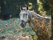 Dappled Gray Horse In Morning ...