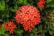 Ixora Flower Blooming Closeup ...