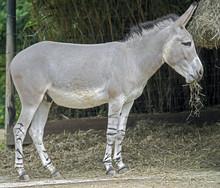 African Wild Ass. Latin Name - Equus Africanus