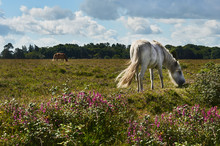 New Forest Pony Grazing On Healthand In National Park