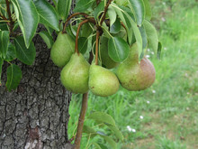 Green Pears Hanging On A Growing Pear Tree . Tuscany, Italy