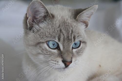 Foto auf Acrylglas Weiße Katze