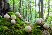 Clusters Of Young Mushrooms Lycoperdon Perlatum Growing In A Forest On An Old Stump, Covered With Moss
