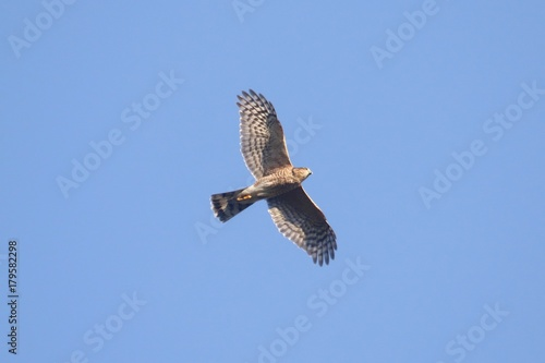 Aufkleber - Sharp-shinned Hawk In Flight