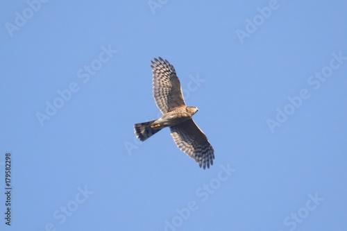 Sticker - Sharp-shinned Hawk In Flight