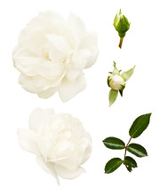 Set Of White Rose Flowers, Buds And Leaves