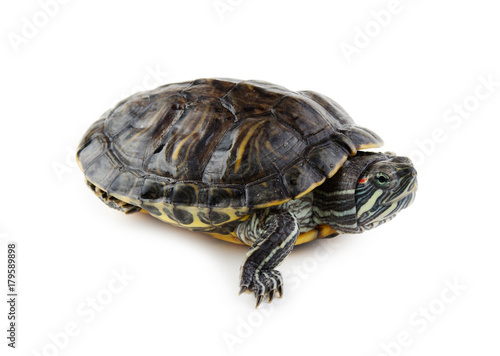 Deurstickers Schildpad red ear turtle isolated on white background