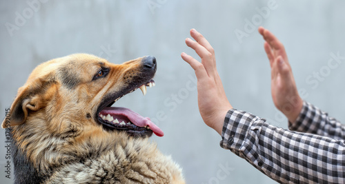 A male German shepherd bites a man by the hand. Wallpaper Mural