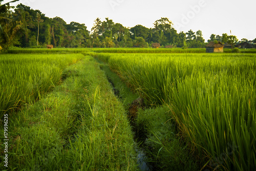 Fototapeta Bali Rice Fields The Balinese rice fields are set up with a complex gravity fed irrigation system that uses rainwater from the volcanoes that dot the island These fields are hundreds of years old