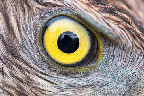 In de dag Eagle eagle eye close-up, macro photo, eye of the Goshawk
