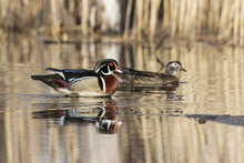 Wood Ducks In Spring