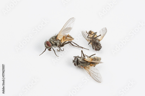 Dead flies on white