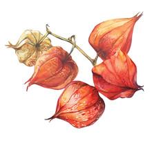 Physalis Fruit Berry (winter C...