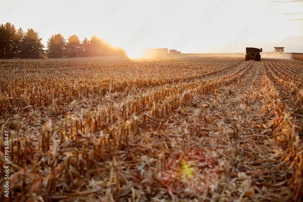 Fototapeta Farmers harvesting maize during golden hour