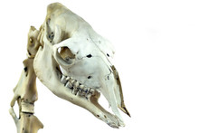 The Skull Of A Camel Is Close-...