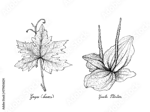 Fényképezés  Hand Drawn of Grape Leaf and Greater Plantain
