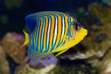 Regal Angelfish, Pygoplites Di...