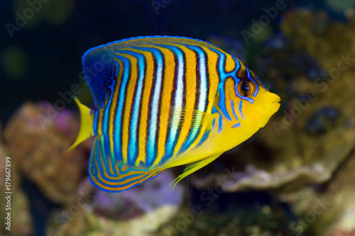 Regal Angelfish, Pygoplites diacanthus, from the Red Sea or Indian Ocean Canvas Print