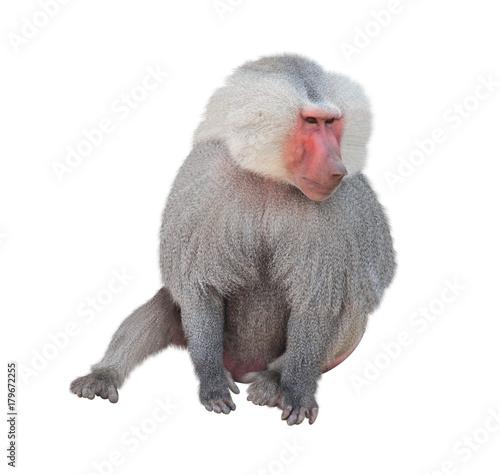 Photo Male monkey hamadryad. Isolated on white background