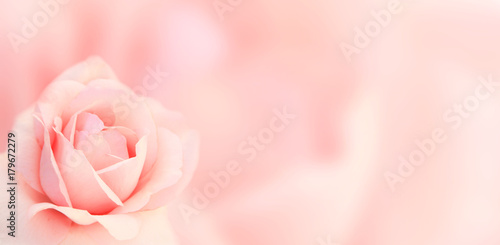 Photo  Banner with pink rose