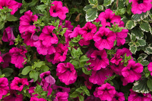 Petunia Flowers. Background Te...