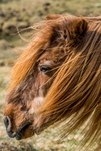 Portrait Of A Very Old Icelandic Horse In Chestnut Color