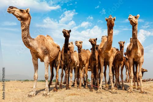Spoed Fotobehang Kameel Camels at Pushkar Mela Pushkar Camel Fair , India
