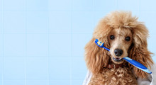 Cute Dog With Tooth Brush On T...