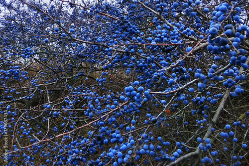 Blackthorn fruits on a bush. Blue sloe berries at early autumn. Tapéta, Fotótapéta