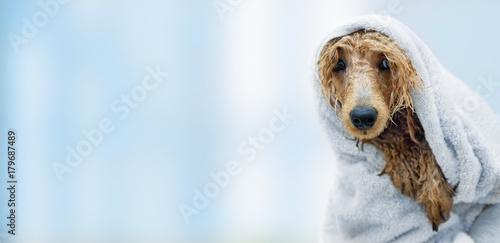 Wet poodle dog after the bath with a towel . Tableau sur Toile