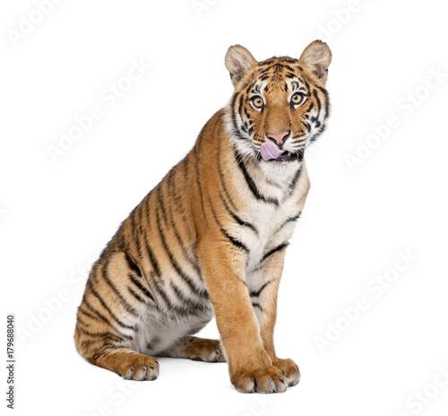 Keuken foto achterwand Tijger Portrait of Bengal Tiger, Panthera tigris tigris, 1 year old, sitting in front of white background, studio shot