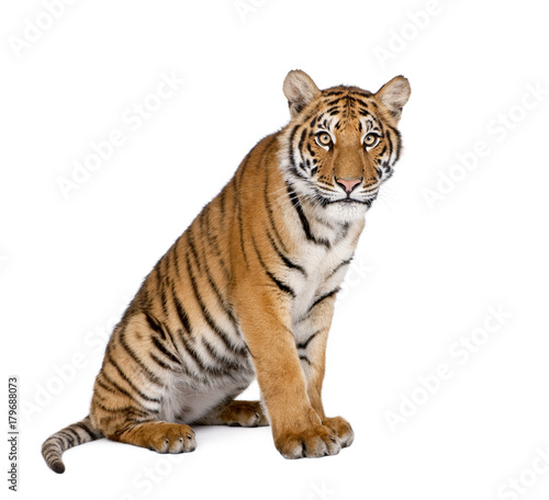 Photo sur Toile Tigre Portrait of Bengal Tiger, Panthera tigris tigris, 1 year old, sitting in front of white background, studio shot