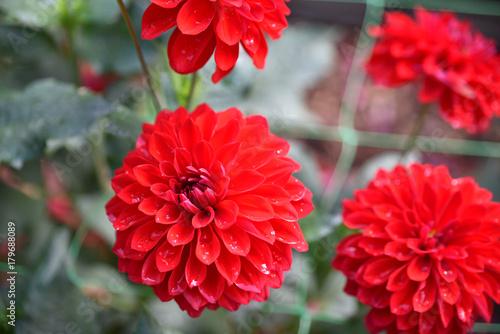 Poster de jardin Dahlia Dahlia rouge vermillon en été au jardin