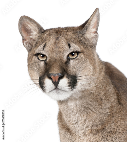 Close-up portrait of Puma cub, Puma concolor, 1 year old, studio shot