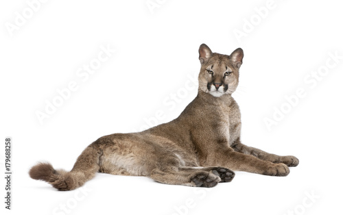 Poster Puma Portrait of Puma cub, Puma concolor, 1 year old, lying against white background, studio shot