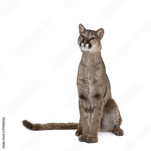 Poster Puma Portrait of Puma, Puma concolor, 1 year old, sitting against white background, studio shot