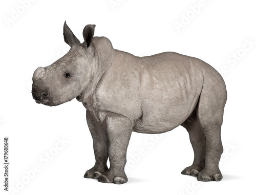 Fototapeta premium young White Rhinoceros or Square-lipped rhinoceros - Ceratotheri