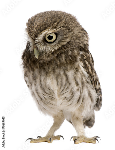 Fotobehang Uil Little Owl, 50 days old, Athene noctua, standing in front of a white background
