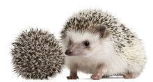Four-toed Hedgehogs, Atelerix ...