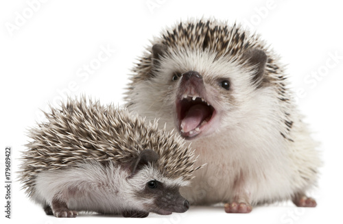 Fotomural Four-toed Hedgehogs, Atelerix albiventris, 3 weeks old, in front of white backgr