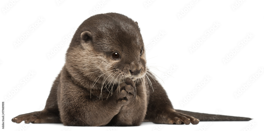Fototapety, obrazy: Oriental small-clawed otter, Amblonyx Cinereus, 5 years old, sitting in front of white background