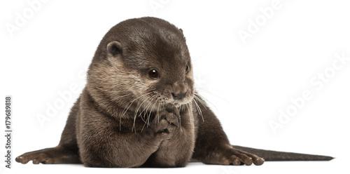 Fototapeta Oriental small-clawed otter, Amblonyx Cinereus, 5 years old, sitting in front of white background obraz na płótnie