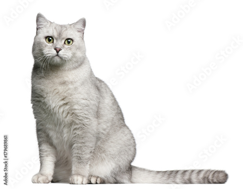 Tuinposter Kat British Shorthair cat, 4 years old, sitting in front of white background