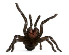 Tarantula Spider Attacking, Ha...