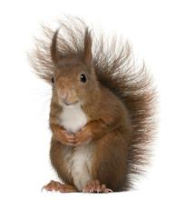 Eurasian Red Squirrel, Sciurus...